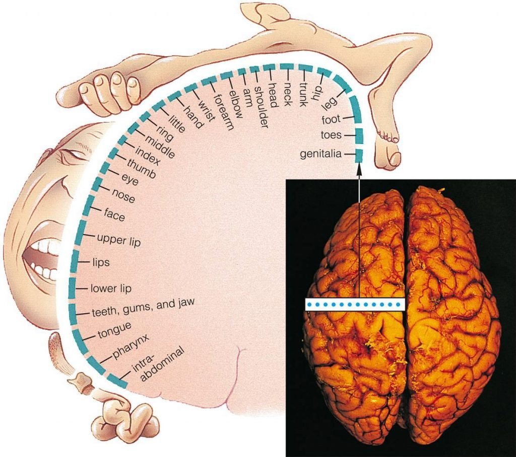 somatosensory_cortex